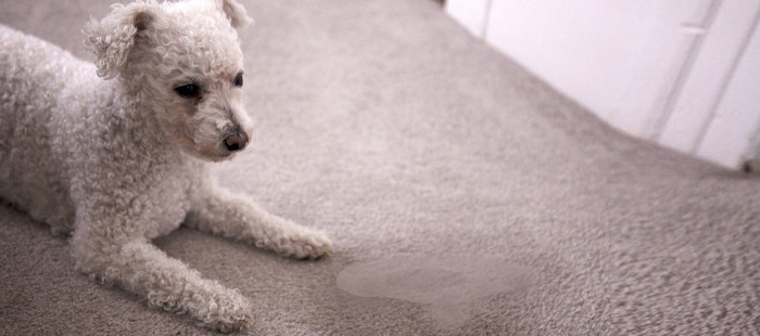 Removing-Urine from Carpet Services